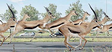 Wij zijn een gazelle